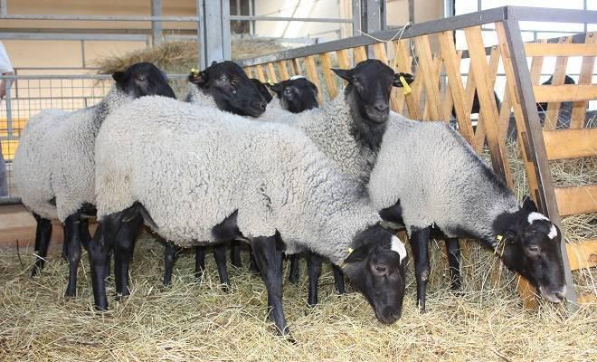Романовская порода овец: содержание и разведение в домашних условиях