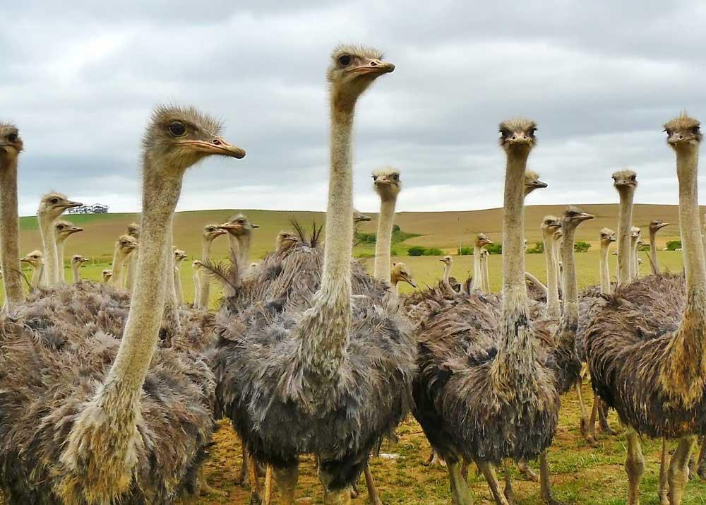 Разведение страусов в домашних условиях для начинающих в россии