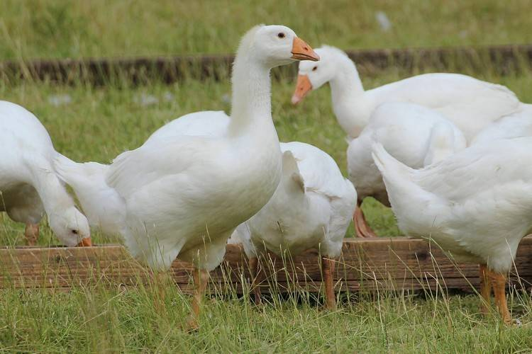 Куры щиплют перья и едят — обзор причин, меры борьбы