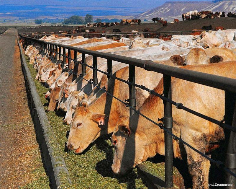 Разведение коров: особенности и актуальные проблемы