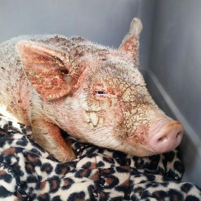 Чесотка у свиней: причины, симптомы и лечение