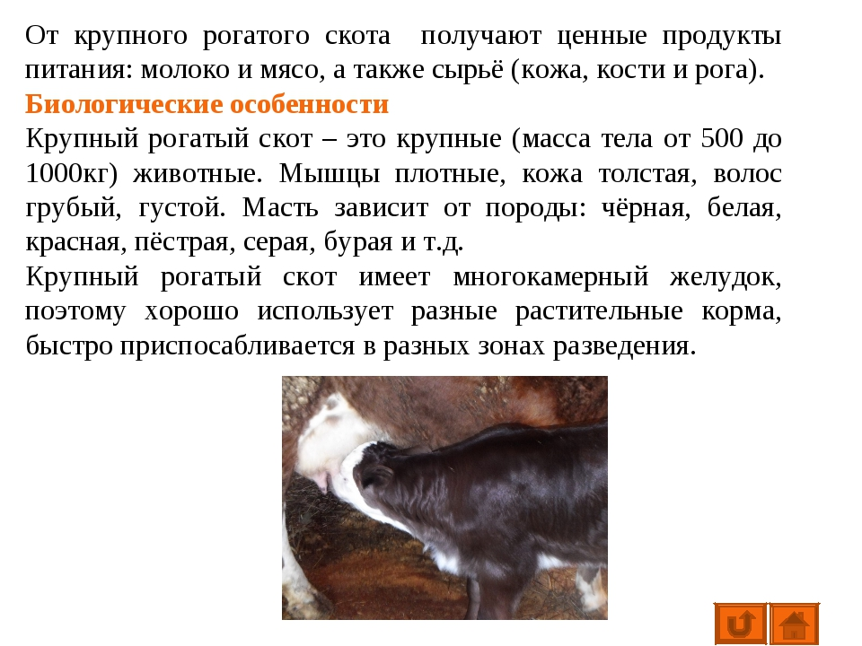 Биологические особенности крупного рогатого скота: основные особенности коров