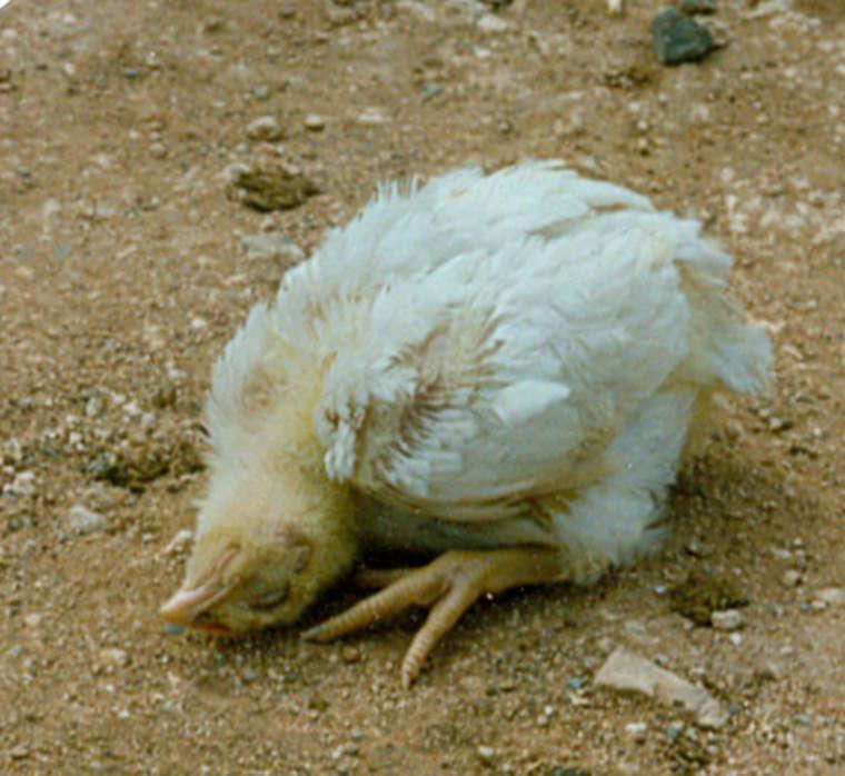 Характерные симптомы болезни марека у кур, методы ее диагностики и лечения