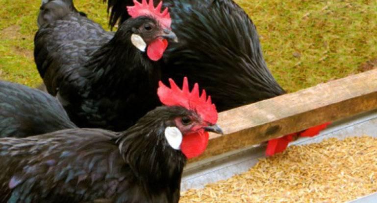 Порода кур минорка: описание с фото, отзывы