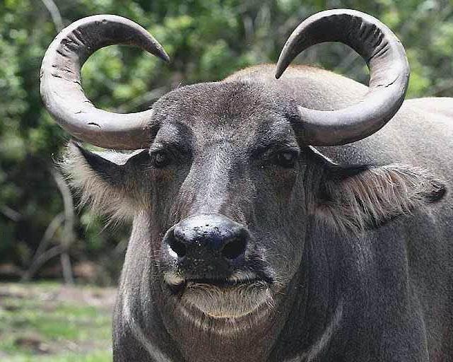 Азиатский (индийский водяной) буйвол: описание, фото, где обитает, чем питается