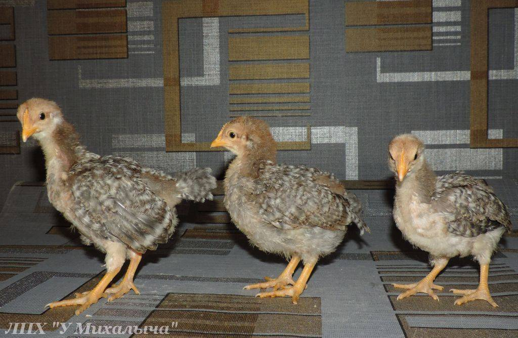 Пушкинская порода кур (30 фото): описание полосато-пестрой птицы, определение пола у цыплят. когда начинают нести яйца? отзывы