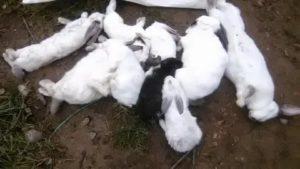Как умирают декоративные кролики и по каким причинам дохнут в домашних условиях