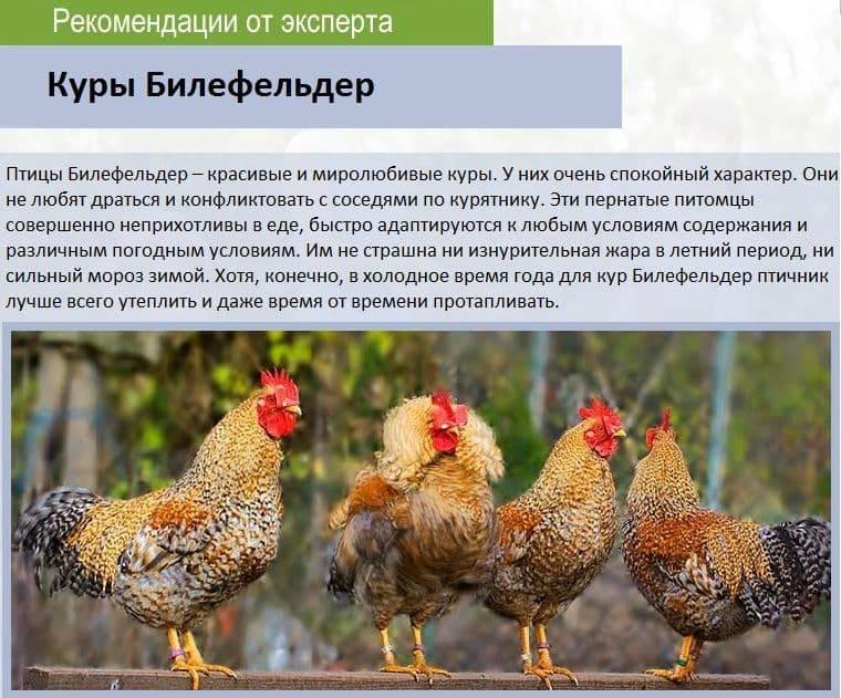 Мясояичные породы кур