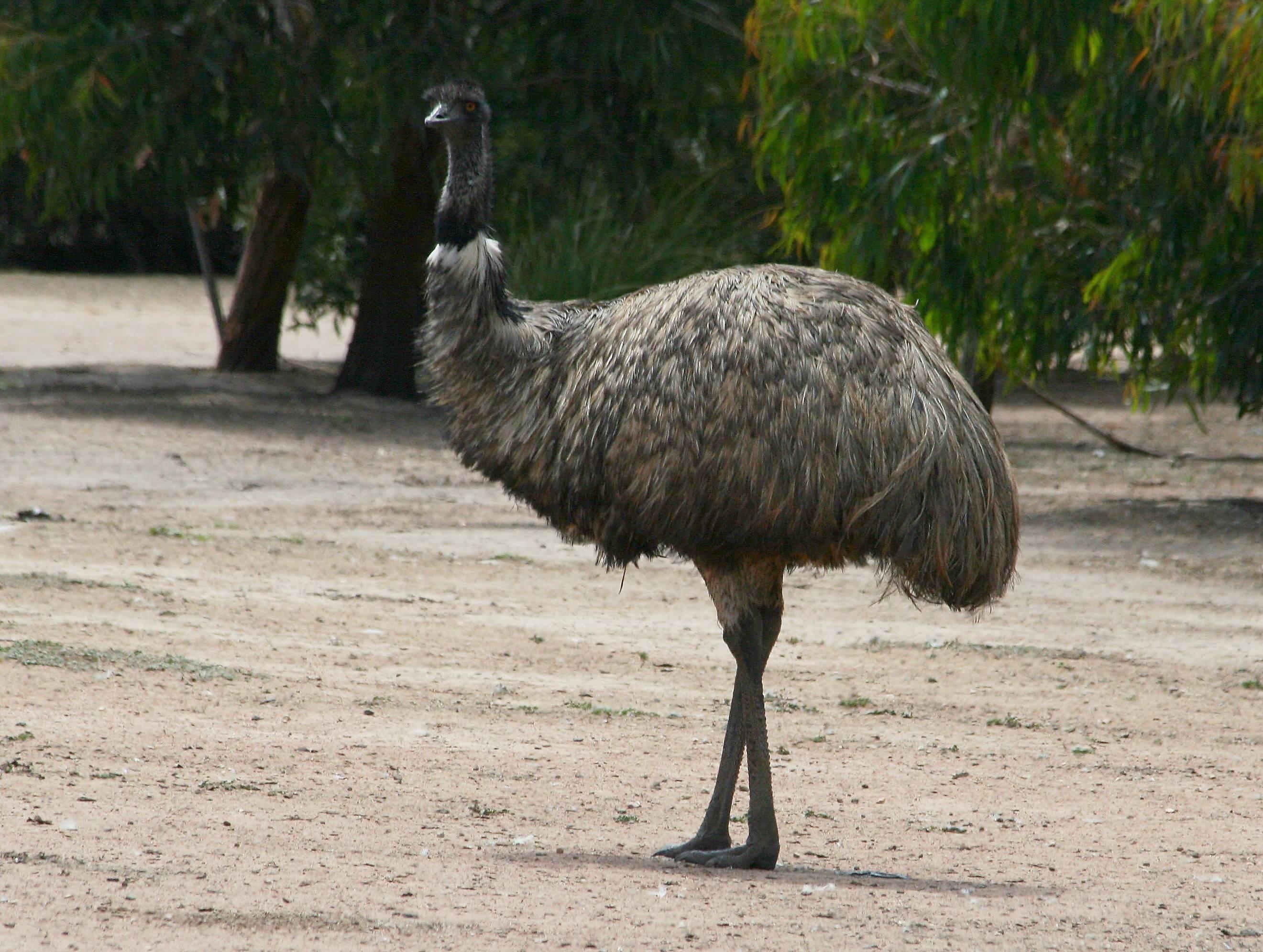 ✅ о страусах эму: что это за австралийская порода и в чем ее основные отличия - tehnomir32.ru
