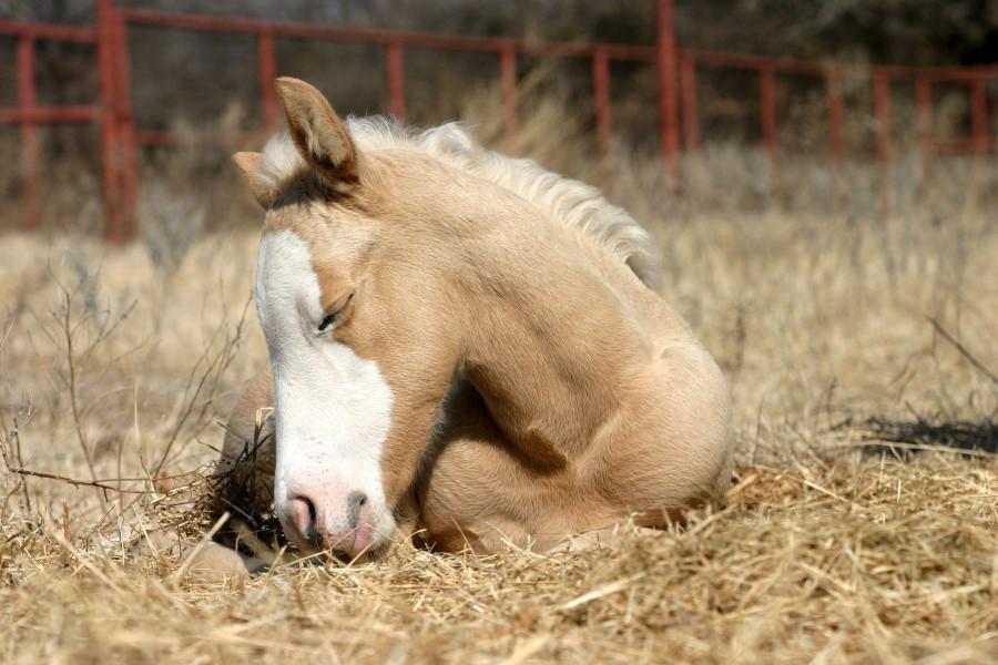 Как спят лошади? описание, фото и видео
