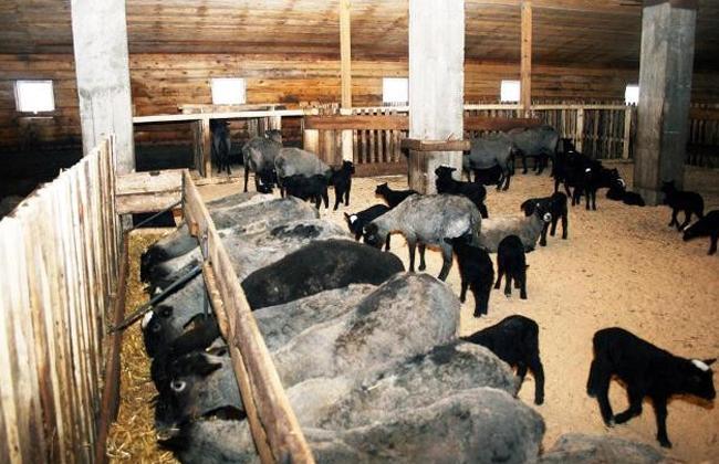 Разведение баранов на мясо как бизнес