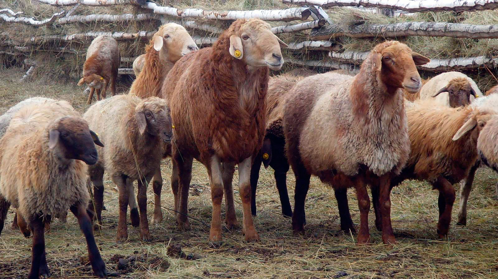 Эдильбаевская порода овец: продуктивность и перспективы содержания — cельхозпортал