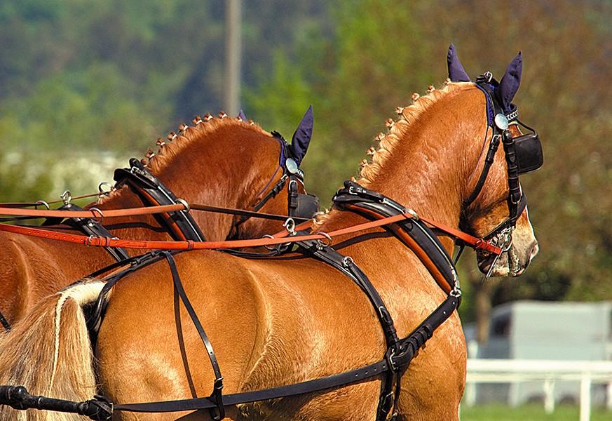 Сбруя для лошади: описание и строение, самые популярные виды