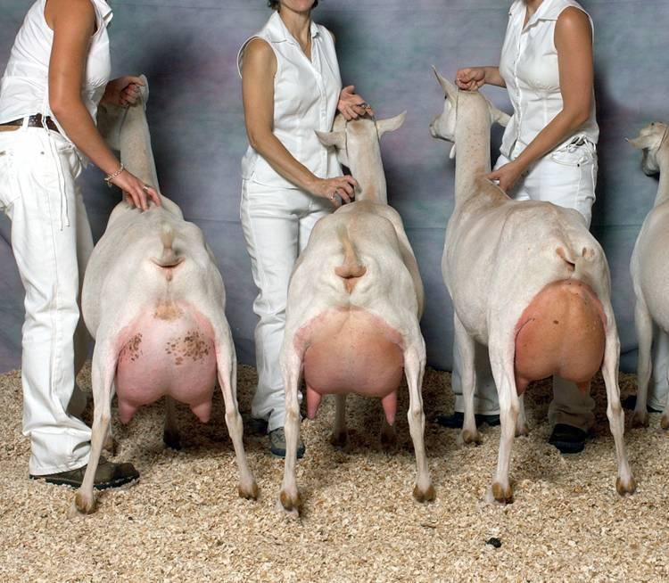Зааненские козы - описание породы и содержание коз