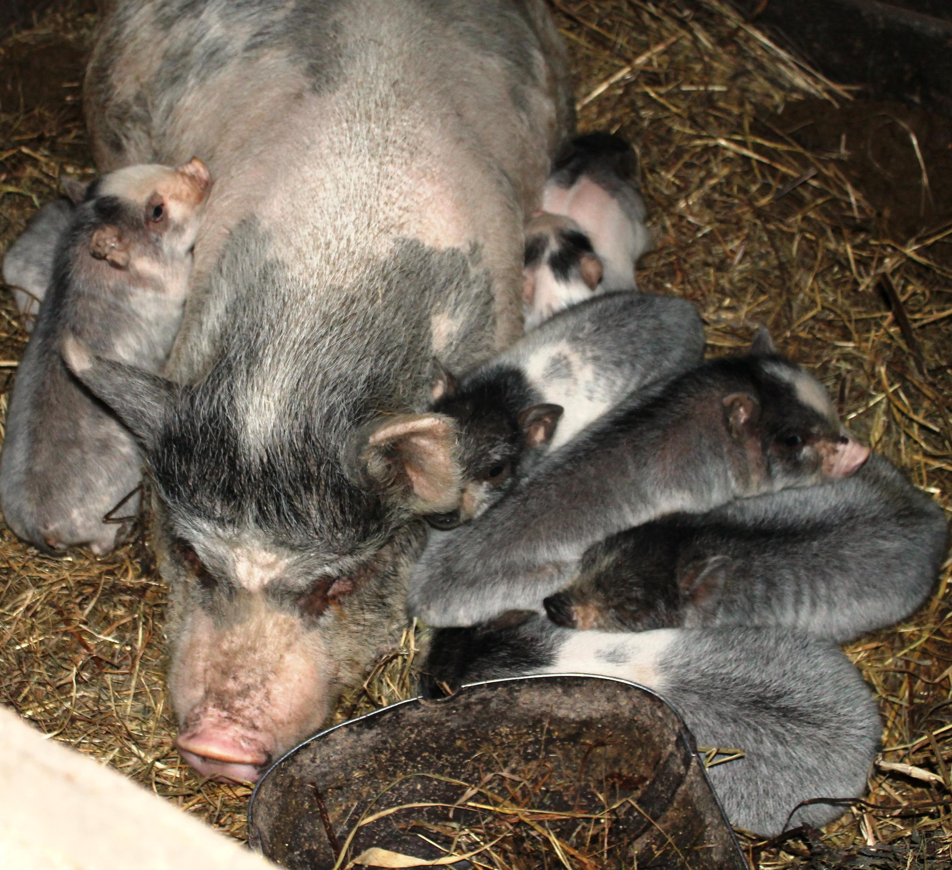 Вьетнамские вислобрюхие свиньи содержание и уход - полезные советы!