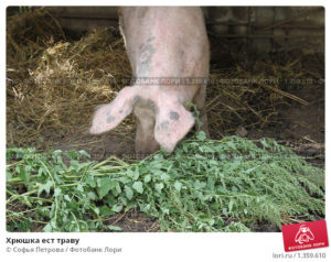 Что можно давать свиньям и чем кормить поросят