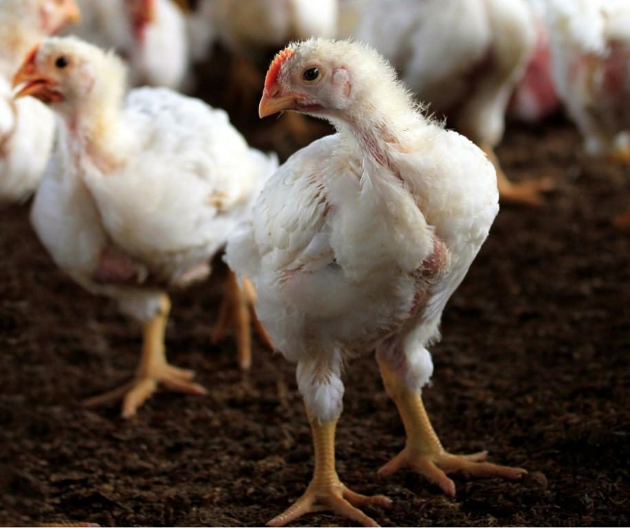 Куры бройлеры (65 фото): особенности выращивания в домашних условиях, кормление бройлерных цыплят. как правильно разводить?