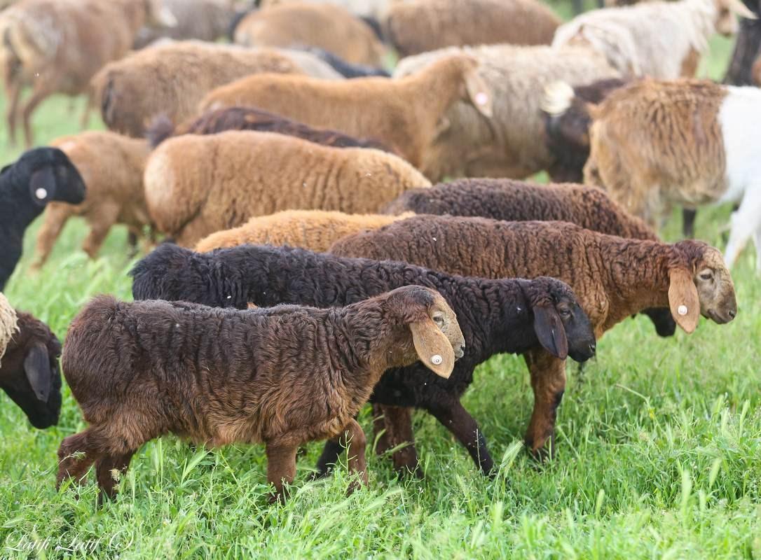 Краткая характеристика эдильбаевской породы овец: содержание, разведение, преимущества и недостатки
