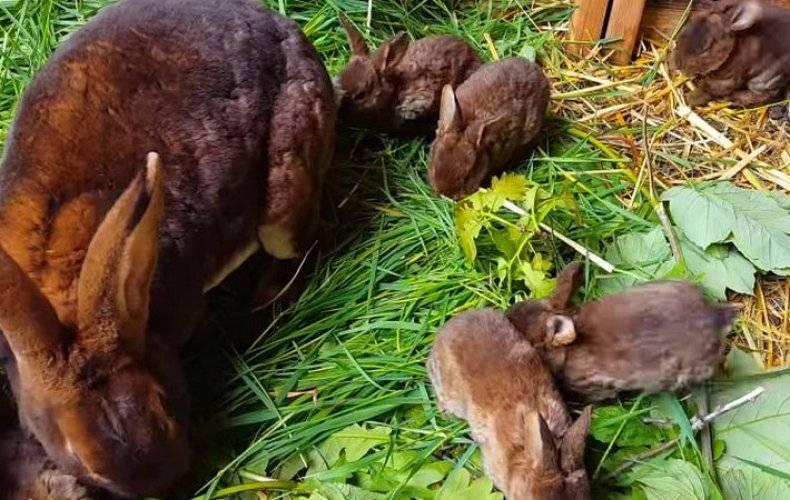 Спаривание и случка кроликов: как и когда подпускать крольчиху?