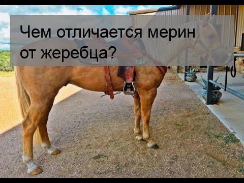 ✅ в чем отличие мерина от жеребца: как называется кастрированный конь - tehnomir32.ru