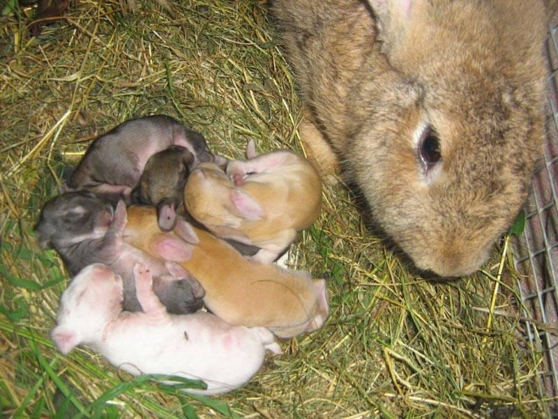 Чем и как кормить маленьких крольчат