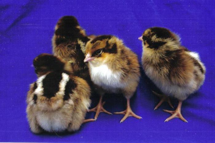 ✅ о породе кур кучинские: описание и характеристика, как определить пол у цыплят - tehnomir32.ru