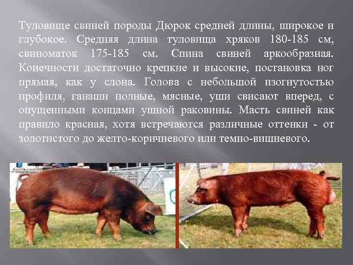Порода свиней дюрок: характеристика, разведение, отзывы
