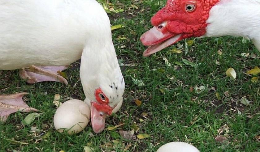Когда индоутки начинают нести яйца - созревание несушек, кладка яиц