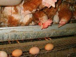 Что сделать, чтобы куры не клевали и не съедали свои яйца: причина, как отучить