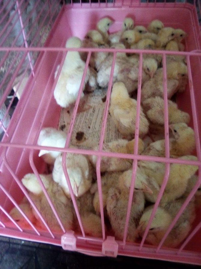 Бройлерные цыплята, уход и кормление в домашних условиях