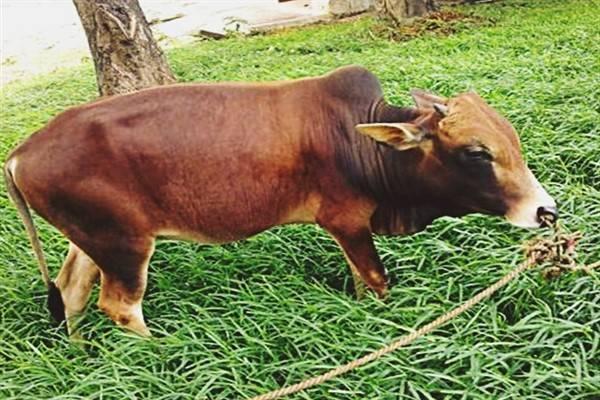Карликовые коровы: описание и характеристика пород