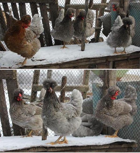 Китайская хохлатая домашняя курица