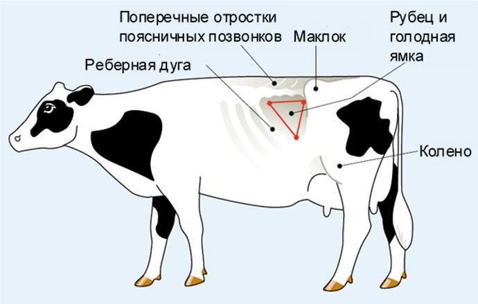 Тимпания рубца у коровы: лечение, что делать