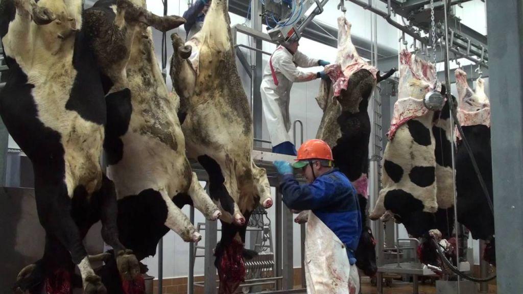 ✅ как режут быков: забой и разделка крс (убойный цех) - tehnomir32.ru
