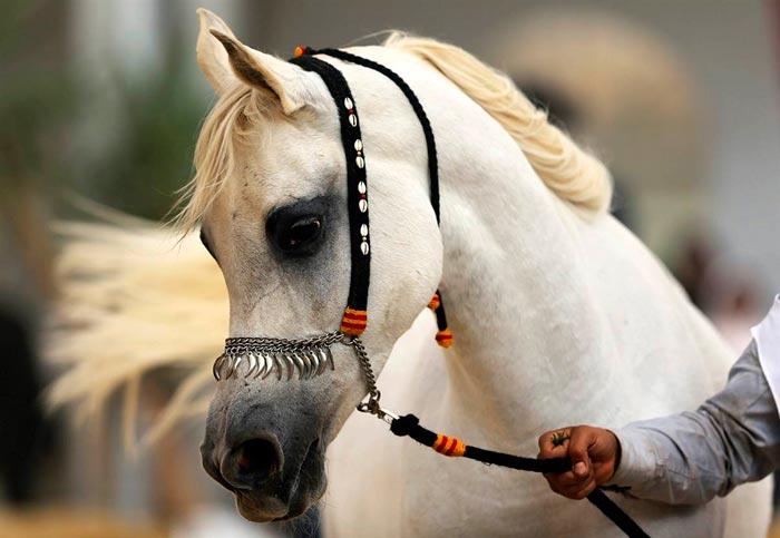 Порода арабский скакун, представители арабских лошадей, их виды и характеристика