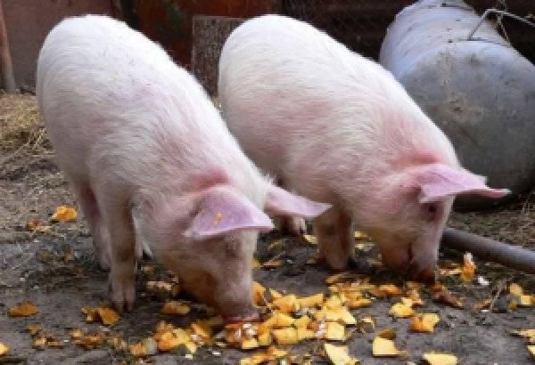 О поросятах: чем кормить для быстрого роста в домашних условиях, комбикорм