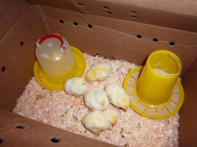 Чем кормить цыплят с первых дней жизни и до взросления в домашних условиях?