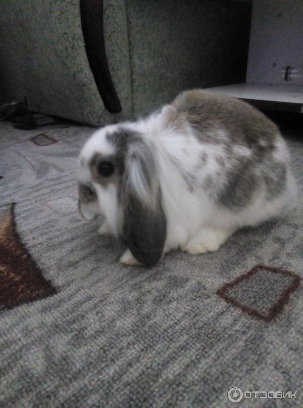 Породы декоративных кроликов: фото, названия и описание