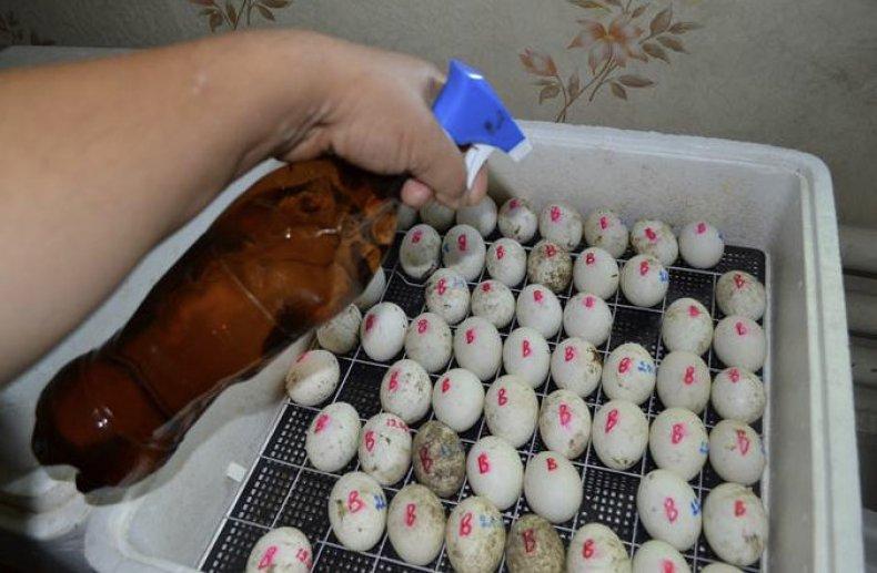 Тонкости инкубации яиц цесарок: пошаговая инструкция с таблицей режима выведения