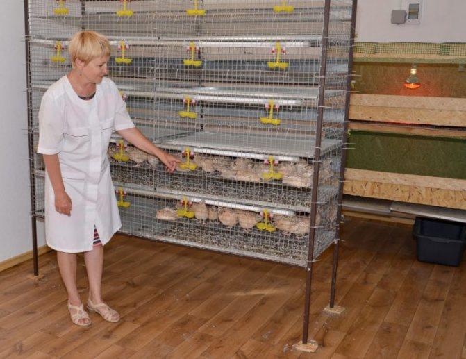 Cодержание, кормление и разведение перепелов в домашних условиях