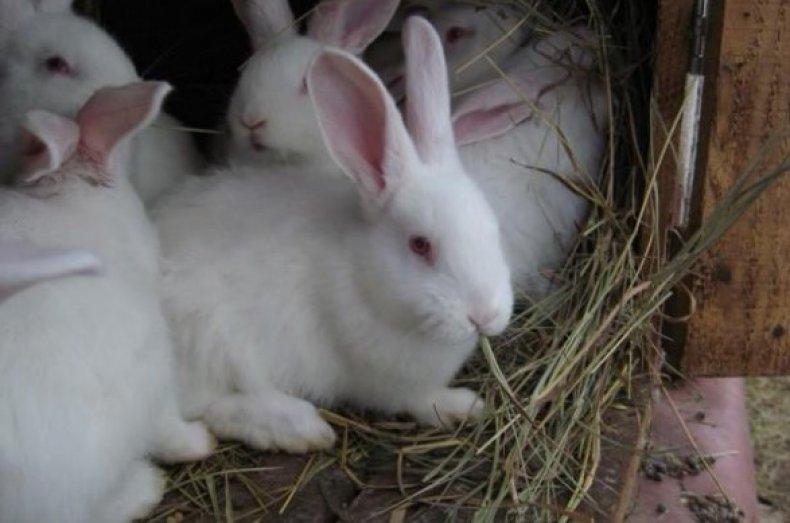 Кролик белый паннон — описание породы, характеристика, особенности содержания и разведения