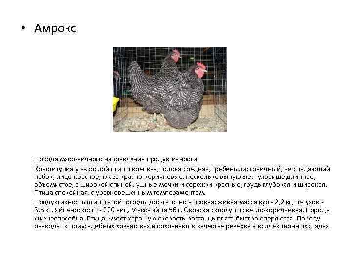 Характеристика породы кур амрокс с фото представителей и отзывами заводчиков