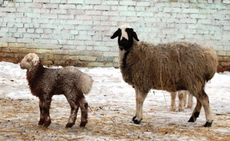 Курдючные овцы - разведение и советы по содержанию