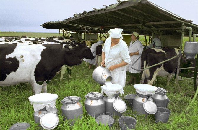Корова лучше всего отдает молоко в первые пять минут