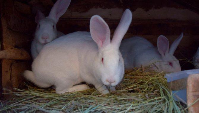 Разведение кроликов породы серый великан — cельхозпортал