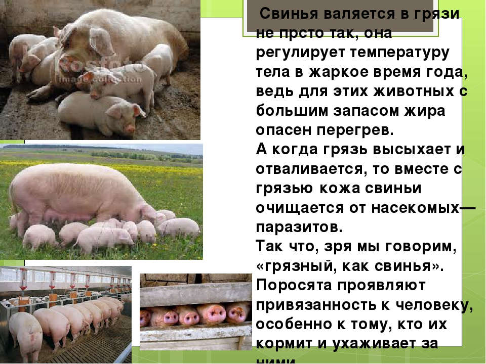 ✅ все о свиноматке: оплодотворение, сколько ходит беременная, особенности - tehnomir32.ru