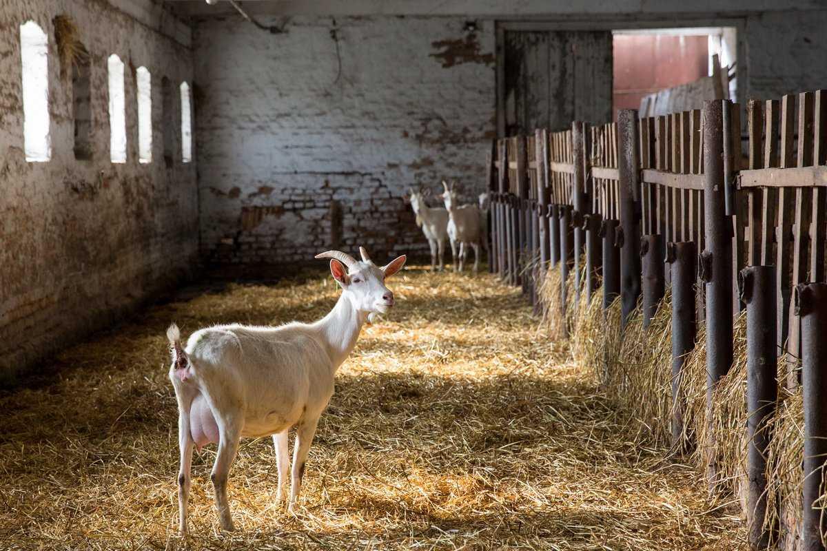 Разведение и содержание коз для начинающих