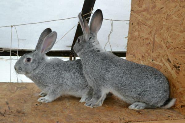 Кролики породы шиншилла: преимущества и недостатки разведения | фазенда рф