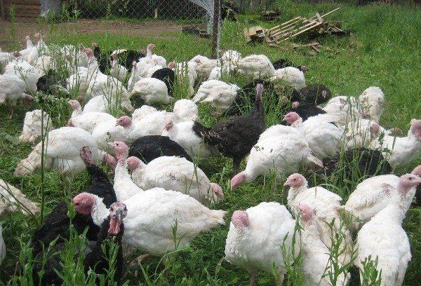 Как выращивать индюшат - разведение индюков - птицеводство - собственник