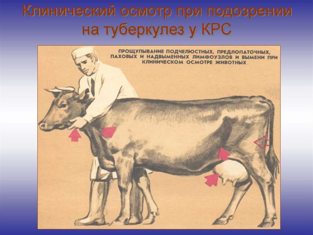 Туберкулез с/х животных и птиц